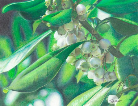 """Mistletoe"" 8.5 x 11 Colored Pencil on Bristol Vellum"