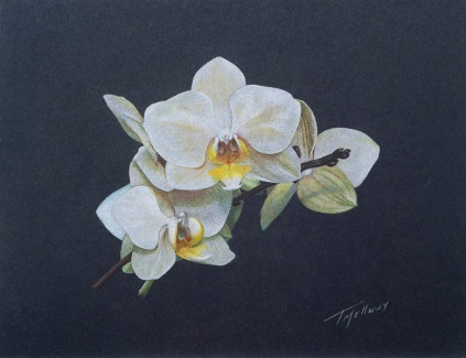 """White Orchids"" Colored Pencil 8.5 x 11 on Black Artagan"