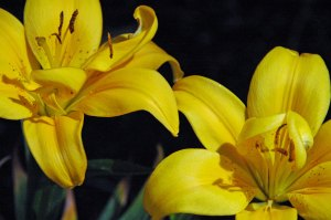Brilliant yellow lilies_edited-1