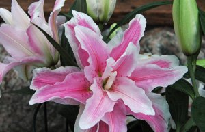 Double Stargazer_edited-1