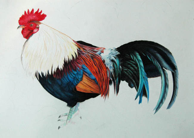 rooster_3_72