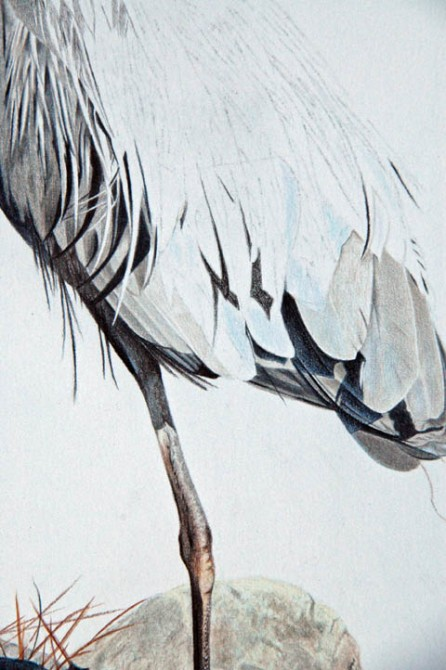Blue Heron_08_Closeup