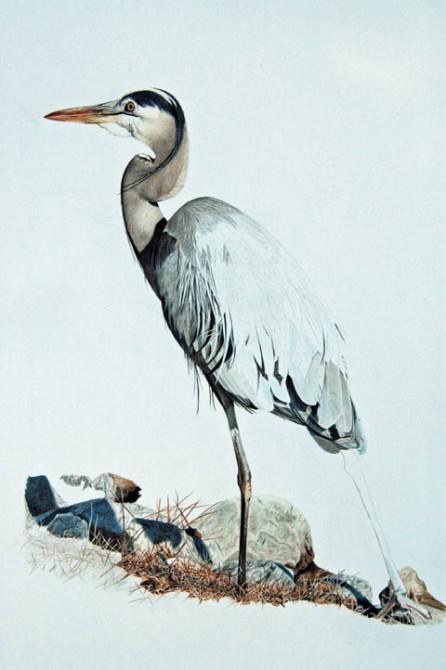 Blue Heron_09