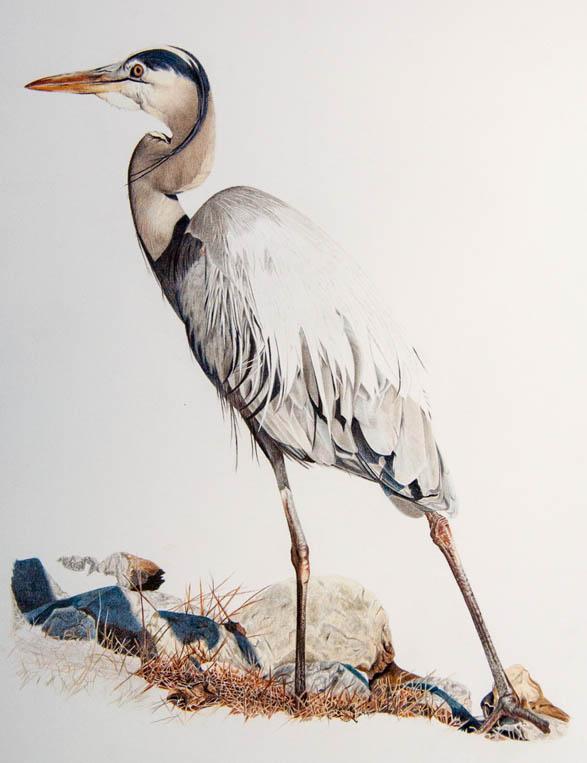 Blue Heron_10