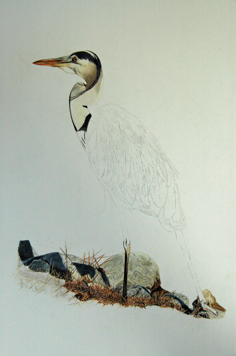 Blue Heron_4
