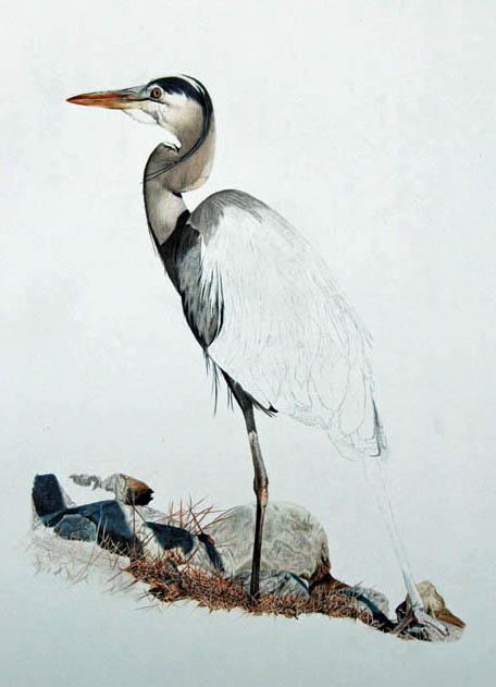 Blue Heron_7