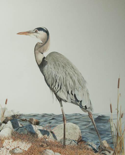 Blue Heron72_14