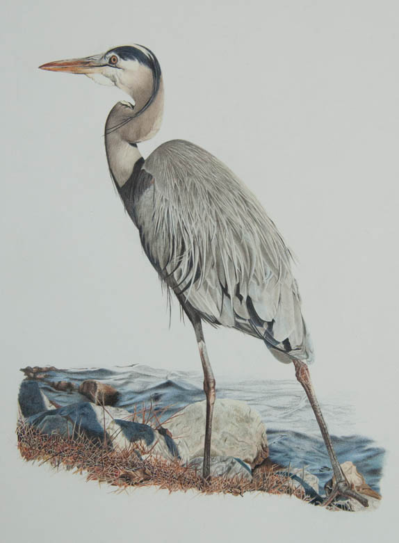Blue Heron_12